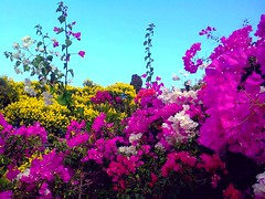 bougainvillea - בוגיינויליאה (yoel_tw) Tags: bougainvillea floresbugambiliasveraneras בוגנוויליה