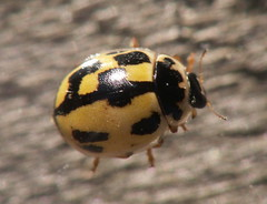 COCCINELLIDAE - Propylea quatuordecimpunctata - 14-spot ladybird (Ashley _Wood) Tags: west sussex insects british piece lords fittleworth su991172