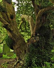 Ednaston Yew (Dazzygidds) Tags: derbyshire veterantree allsaintschurch brailsford ednaston centenaryway 1000yearoldtree majesticyew veteranyewtree