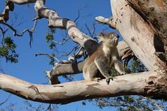 Australia: Koala's near Cape Otway (eliduke) Tags: australia koala greatoceanroad capeotway