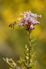 feeding bee (Puresilk Images (AWAY)) Tags: flower macro canon close feeding native australia bee feed 70d