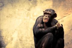 A Portrait of a Chimp (Bartfett) Tags: california portrait color face yellow zoo monkey los eyes hands focus sitting chimp angeles great thoughtful sharp human ancestor ape chimpanzee