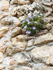 Glockenblume (SabineausL) Tags: italien italy plants plant stone wall lumix flora italia blossom stones liguria blossoms blumen panasonic steine campanulaceae blume campanula blte stein mauer blten glockenblume ligurien zwergglockenblume campanulacochleariifolia dmctz4 panasonicdmctz4 sabineausl