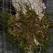 Maxillaria spegazziniana – Nico Goosens