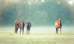 _DSC3775.jpg (Ingeborg Ruyken) Tags: morning november autumn horses horse sunrise dawn flickr nederland thenetherlands sunny autumncolors iphoto ochtend facebook paard paarden naturephotography zonnig landgoed zonsopkomst berlicum natuurfotografie 2013 hersft wamberg hersftkleuren catbigmammals welraw