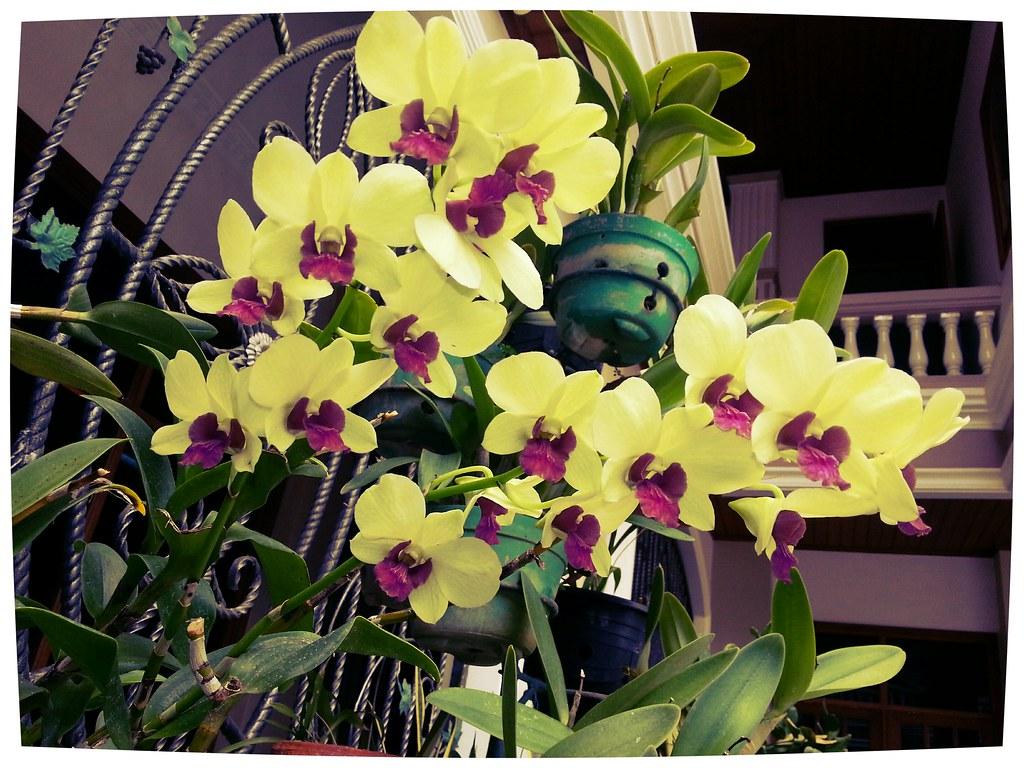 Bunga anggrek dendrobium soft pink bunga anggrek kuning for Wohnzimmertisch pimpen