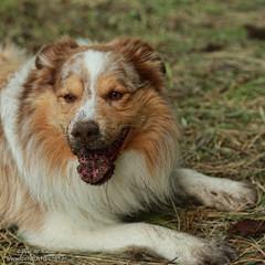 Don't panic, I'm a Border Collie (Peet de Rouw) Tags: portrait dog holland collie jordan dirt bordercollie redmerle denachtdienst peetderouw