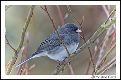 Junco - Explore 2013-12-04 (Summerside90) Tags: autumn ontario canada bird fall nature birds garden backyard wildlife junco birdwatcher