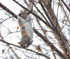 Tree top Hanger. (Omygodtom) Tags: park winter wild tree art texture nature season nikon squirrel squirrels dof dk7 d7000 nikon70300mmvrlens squirrelsparknatureportlandoregon