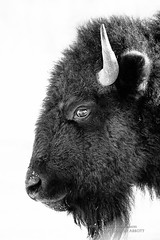 Bison Formal Portrait (Thousand Word Images by Dustin Abbott) Tags: portrait bw canada monochrome animal contrast fur high buffalo eyes quebec fineart handheld highkey fullframe bison parcomega montebello ultratelephoto canoneos6d thousandwordimages dustinabbott dustinabbottnet adobelightroom5 alienskinexposure5 adobephotoshopcc vision:outdoor=095 vision:sky=0536 tamronsp150600mmf563vcusd foggingbreath