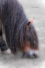 El melenas (Jabi Artaraz) Tags: caballo sony zb poni zaldia pottoka behorra euskoflickr jartaraz équido alfa350 blinkagain