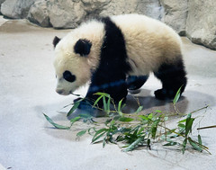 Bao Bao (vpickering) Tags: zoo panda nationalzoo giantpanda pandas zoos baobao giantpandas zoomeet instameet