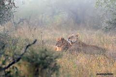 DSC_2415 (Arno Meintjes Wildlife) Tags: africa wallpaper nature southafrica wildlife lion safari bigcat predator krugerpark big5 pantheraleo arnomeintjes