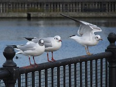 Black-Headed Gull, Canada Water, London SE16 @ 3 February 2014 (Part 19 of 22) (Kam.Hong Leung) Tags: park wood winter kewgardens plant macro building tree bird london reed nature ecology true kew fauna woodland garden duck swan dock flora education seagull gull conservation science environment magpie bhs botany horticulture rotherhithe southwark canadawater biodiversity surreydocks rspb stavehill ecologypark btcv tcv southwarkcouncil russiadockwoodland kamhongleung stavehillecologypark trustforurbanecology leungkamhong beatriceleung btcvcarbonarmy friendsofkew theconservationvolunteers stevecornish rebekaclark blackheadedgull tuftedduck muteswan towerblock surreyquaysshoppingcentre dailymail metro