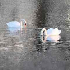 Swans at Sunset (Blue-Eyed Kentucky) Tags: sunset birds bluegrass kentucky wildlife lexingtonkentucky swans legacytrail blueeyedkentucky