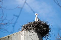 Storchennest (Oliver Schoenfeld) Tags: bird zoo nest mnster vogel storch allwetterzoomnster