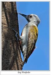 Grey Woodpecker (female) (Chris(C) & Sue (S) M-T) Tags: kenya lakebaringo greywoodpecker dendropicosgoertae