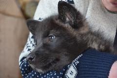 North American Grey Wolf Puppy (rabidscottsman) Tags: portrait cute nature minnesota puppy sweater holding wolf weekend wildlife adorable saturday greywolf lakevilleminnesota scotthendersonphotography fureverwild