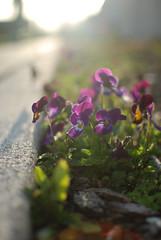 Hello sweet pansies (lydiafairy) Tags: light flower green nature sunshine spring warm raw purple bright bokeh pansy sidewalk lensflare flare greeting unedited sooc straightoutofcamera