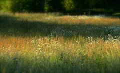 Summer Daisies (The Kev Mason) Tags: summer field grass daisies