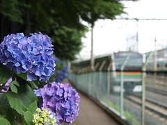 Hydrangea macrophylla and Train (elminium) Tags: japan train tokyo railway railtracks hydrangeamacrophylla dmcg1