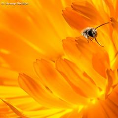 Beebo (JKmedia) Tags: orange hot flower macro floral pool closeup insect lava cornwall wasp bee hoverfly flaora 15challengeswinner playinghidenseek ef100mmf28lmacroisusm canoneos5dmkiii boultonphotography