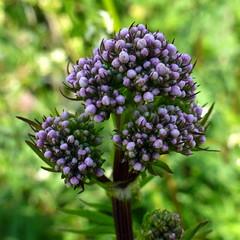 Baldrian (blasjaz) Tags: plant pflanze pflanzen botanik valerianaofficinalis valerianaceae baldrian blasjaz