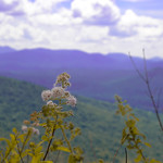A weed on Haystack Mountain thumbnail