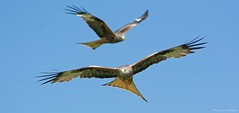 Flight of the Kites (KHR Images) Tags: wild bird nature sunshine wales flying nikon wildlife raptor birdofprey redkite rhayader milvusmilvus 300mmf4 gigrinfarm d7100 kevinrobson khrimages