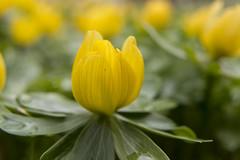 Aconite (sheila photos 63) Tags: aconite yellow flora flower nature