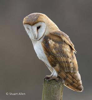 Barn Owl_MG_2885