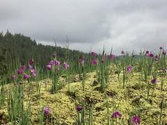 Grass Widow (rooftop65) Tags: grasswidow sisyrinchiumdouglasii irisfamily columbiagorgenationalscenicarea stevenson washington