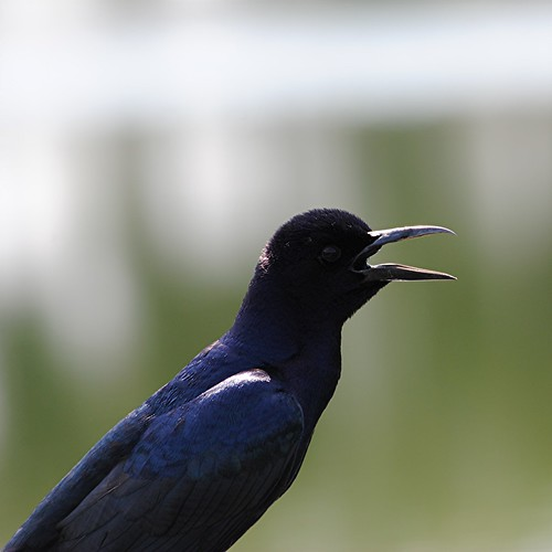Boat tailed Grackle in morning light