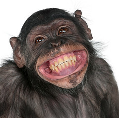 Close-up of Mixed-Breed monkey between Chimpanzee and Bonobo smiling, 8 years old (kilnsea68) Tags: wild portrait white black cute nature smile face smiling animal closeup cutout studio square fur happy monkey furry looking chimp wildlife teeth adorable happiness nopeople headshot indoors whitebackground wildanimal studioshot chimpanzee 8yearsold primate mixedbreed bonobo lookingaway frontview headandshoulders crossbreed oneanimal lookingatcamera animalhead animalthemes squareimage mixedbreedmonkey crossbreedmonkey