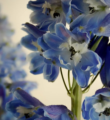 Delphiniums (mahar15) Tags: flowers blue floral closeup blooms flowerarrangement larkspur cutflowers delphiniums