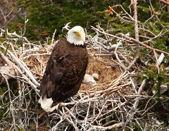 Eagle's Nest (Karen_Chappell) Tags: canada bird nature newfoundland nest eagle stjohns nfld avalonpeninsula