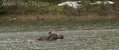 "Young Bull Moose swimming • <a style=""font-size:0.8em;"" href=""http://www.flickr.com/photos/63501323@N07/8886054506/"" target=""_blank"">View on Flickr</a>"