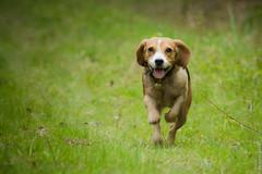 Happy face (beaglou prod) Tags: dog chien france beagle animal canon photography run course foret photographe fleche ozoir paraskevas beaglou beaglouprod delarosedesgatines diamentis delarosedesgatines diamentisparaskevas