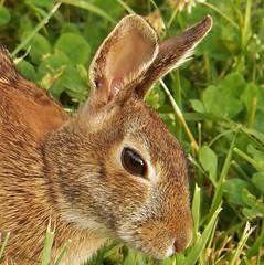 Brown-eyed Bunny (MissyPenny) Tags: brown rabbit bunnies spring wildlife buckscounty cloverpatch southeasternpa bristolpennsylvania