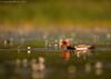 Red-crested Pochard (Netta rufina) (Jeluba) Tags: bird nature horizontal canon pond wildlife aves ornithology birdwatching oiseau redcrestedpochard nettarufina kolbenente netterousse
