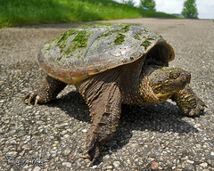 Snapping Turtle (JBtheExplorer) Tags: lake wisconsin female eagle snapping turtle reptile ottawa eggs campground common herp laid laying kettlemoraine herping
