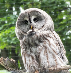What a Great Owl (jo92photos) Tags: bird wildlife explore greatgreyowl owl predator berkshire birdofprey strixnebulosa bealepark ©allrightsreserved westberkshire jo92photos hs20exr