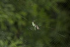 Spider eating series 12 (Richard Ricciardi) Tags: spider eating web spinne araa  araigne ragno timeseries     gagamba    nhn  spidertimeseries