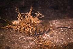 Mouse on The Steine (James Hodgson Photography) Tags: old night mouse brighton steine