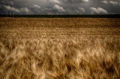 Field of the Cloth of Gold (Nigel Jones QGPP) Tags: field francis gold movement farm wheat henry crop cloth tudors drapdor