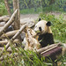 da mao the panda - toronto zoo - 12