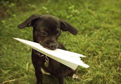 paper airplane (L. Paul) Tags: dog green puppy cookie pup chug paperairplane greengrass blackpuppy pugwawa canon5dmarkiii sigma35mmf14a sigmaartseries