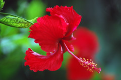 Hibiscus-In my Garden (anandjpurohit777) Tags: red india colour art heritage worship god famous decoration traditions