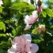 Hibiscus syriacus - Altheastruik