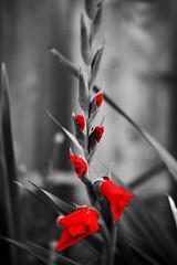 rouge comme le coeur... (jose_abc) Tags: red canada flower green fleur canon rouge montral quebec montreal vert qubec